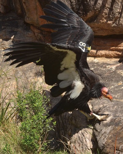 Condor #87 gets wet in Pipe Creek along the Tonto Trail in Grand Canyon National Park. Photo/NPS<br /><br /><!-- 1upcrlf2 -->