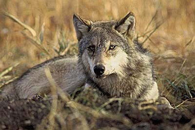 State and federal officials are trying to determine if a gray wolf, spotted several times north of the Grand Canyon was recently shot. Photo/Center for Biological Diversity.