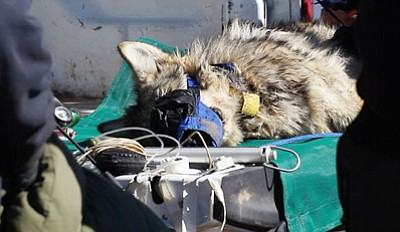 A Mexican gray wolf lay unconscious on an open truck bed after being tranquilized and brought to the drop site for processing. Photo/Laura Sposato