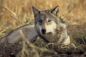 The Endangered Species Act protections across most of the continental United States, and would give individual states the authority to manage wolves. Submitted Photo