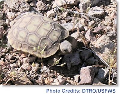 A Mojave Desert tortoise. Photo/DTRO/USFWS