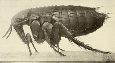 Spread of the plague has been attributed to flea bites. Photo/flickr commons