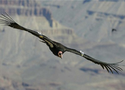 A condor soars over the Grand Canyon. File photo