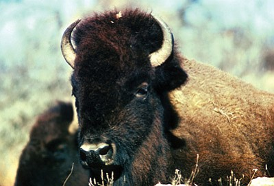 A bison at the Grand Canyon. Photo/Roy Rauch/U.S. Fish and Wildlife Service