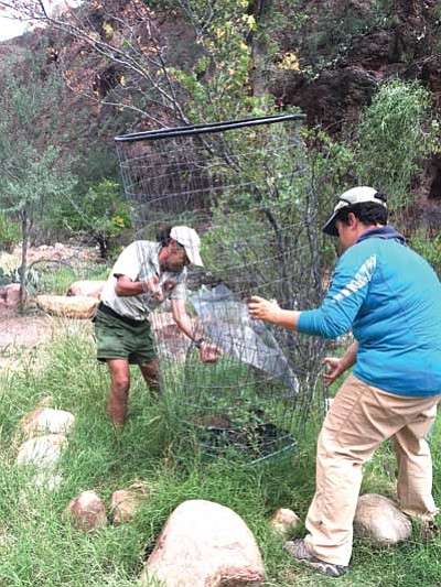 Sjors helps a volunteer from the Grand Canyon Hiking and Backpacking Association place wire cages around trees. Photo/India Hesse