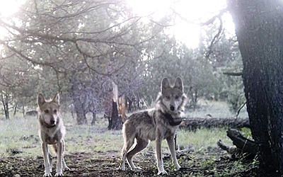 Two Mexican Grey wolves from the Blue Range Wolf Recovery Area during a 2007 project. Photo courtesy of the Mexican Wolf Interagency Field Team, U.S. Fish and Wildlife Service