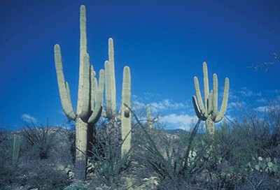 Saguaro National Park near Tucson is one of the parks that would get funding under President Barack Obama's fiscal 2017 budget. Photo/J. Wallner/NPS