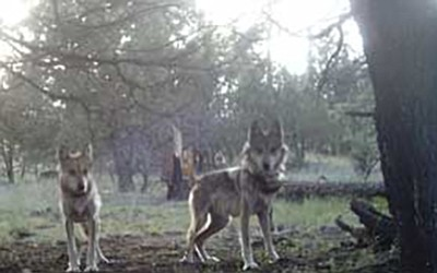 Two young wolves in the San Mateo pack of endangered Mexican gray wolves. Photo/Mexican Wolf Interagency Field Team