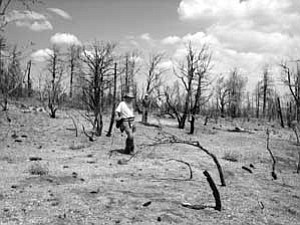 A volunteer surveys the Warm Fire site on the North Kaibab Forest, looking for cultural sites.