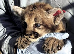One of three mountain lion kittens tagged last summer.