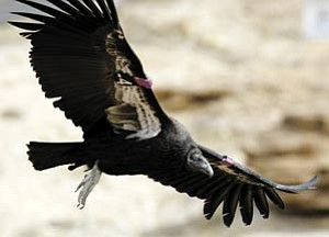 A California condor soars over Grand Canyon. Four more are scheduled for release on Saturday, March 15.