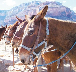 Mules wait patiently for their riders to return from lunch at Plateau Point.<br> <i>Photo/Jackie Brown</i>