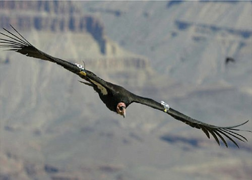 A California condor soars over Grand Canyon.