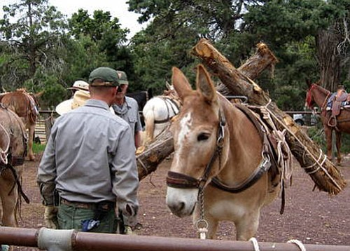 <br>National Park Service photo<br> Trail workers and mules prepare to work on the South Kaibab Trail.