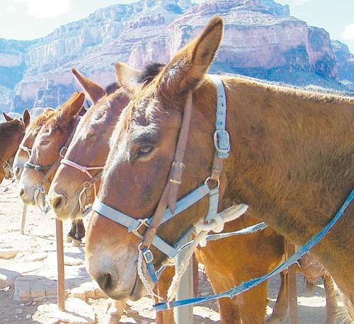 <br>Photo/GCN<br> Officials with the National Park Service recently authorized a temporary permit for Xanterra to operate mule rides from the South Rim Village to to the West Rim.
