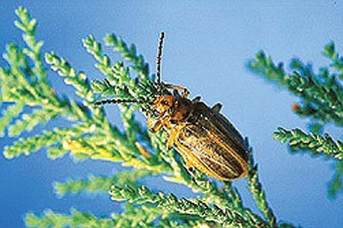 <br>Photo courtesy Grand Canyon National Park<br> The Tamarisk beetle has been found within the Grand Canyon National Park. The beetle was released in portions of the west in 2001 to control Tamarisk plants.