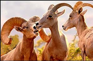 Desert bighorn sheep are shown in this undated photo provided by the Arizona Department of Game and Fish. Courtesy