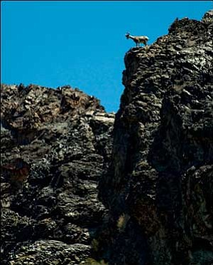 Bighorns are undaunted by terrain that would challenge most other larger mammals, providing them with some protection against predators. This sheep in the Black Mountains proceeded to find a way down the cliff to the area pictured at the bottom of the photo. JC AMBERLYN/Miner