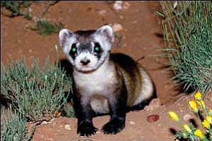 An endangered black-footed ferret is shown in this undated photo. The ferret's eyes glow bright green under light in the darkness, helping officials track its numbers. A reintroduction site near Seligman has helped return the species from the brink of extinction.  Arizona Game and Fish Department via Cronkite News Service