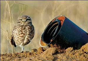 Courtesy A burrowing owl stands near the entrance to an artificial burrow placed near Springerville last May.