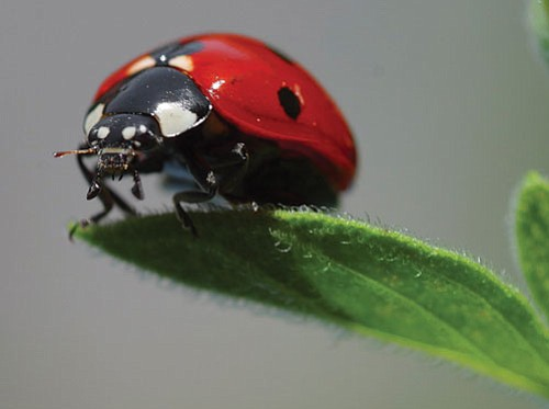 Courtesy<br><br> Lady beetles provide an organic and nontoxic form of pest control.