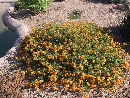 Courtesy<br.<br> Lantana lends color to desert gardens all summer long.