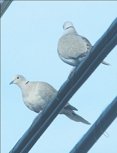 JC AMBERLYN/Miner<br><br> A pair of Eurasian collared doves perch on a telephone wire in the downtown Kingman area. Dove hunters need to know the difference between these and mourning doves, which are found throughout Mohave County.