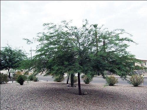 Mesquites make beautiful desert landscape plants that require little care.<br> Courtesy