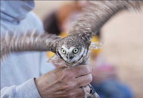 Greg Clark of Wild at Heart shows one of the burrowing owls about to be released inside a temporary tent constructed Saturday.