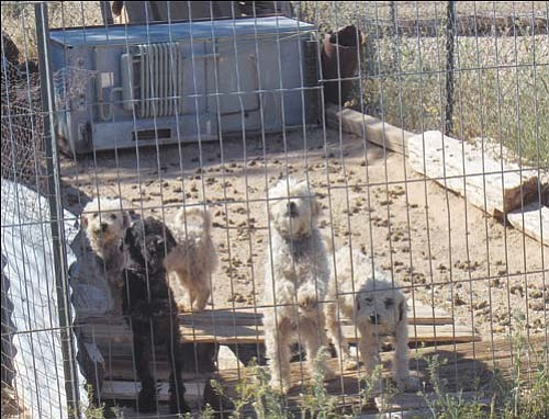 MCSO/ Courtesy<br><br> Mohave County Animal Control took five poodles from a home in Golden Valley in connection with the investigation of the K&S Puppy Ranch. The dogs were in need of veterinary care.