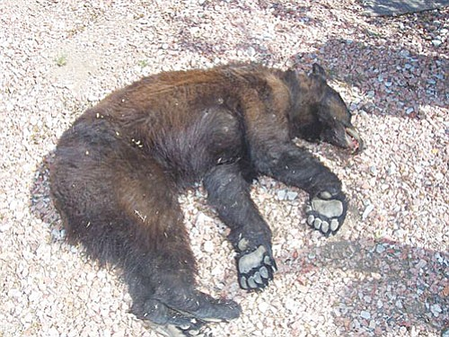 Courtesy<Br><br> This one-year-old black bear was shot by the Kingman Police Department on Thursday morning after attempting to break into several homes. According to the Arizona Department of Game and Fish, the bear probably came down from the Hualapai Mountains, and had been forced out of its territory by its mother.