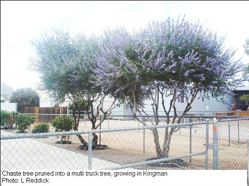 LINDA REDDICK/Courtesy<Br><br> A Chaste tree pruned into a multi-trunked tree in Kingman.