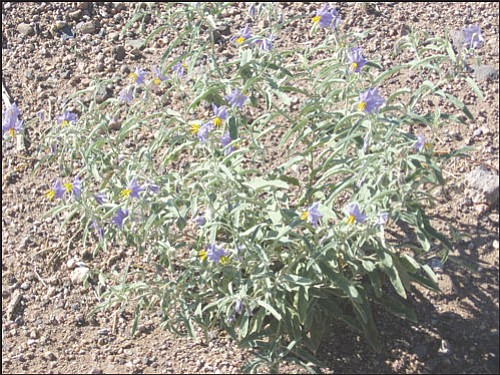 Courtesy<br> The silverleaf nightshade looks pretty, but looks can be deceiving. The plant's berries are toxic to both people and animals.