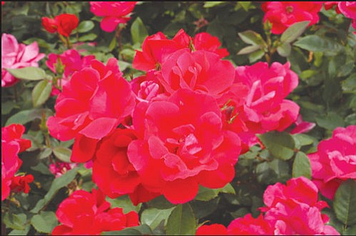 Courtesy<br /><br /><!-- 1upcrlf2 -->There are many types of roses. Proper planting is a must if you want to see these beautiful flowers around your home.