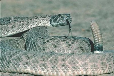 ARIZONA GAME AND FISH/Courtesy<br/>Diamondback rattlesnakes and black widow spiders are two of poisonous critters more likely to be seen as the weather warms.