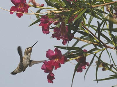Courtesy<br> A Costa's hummingbird inspects flowers.