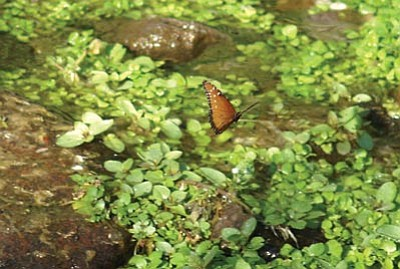 HERBERTA SCHROEDER/Courtesy -- Photographs, such as this one of a queen butterfly taken recently along Route 66 over a stream between Kingman and Oatman, can be entered in the Mohave County Fair.<br /><br /><!-- 1upcrlf2 --><br /><br /><!-- 1upcrlf2 -->