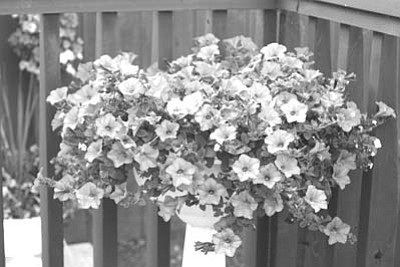 Courtesy<br /><br /><!-- 1upcrlf2 -->Wave petunias do well in a high desert environment.