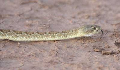 JC AMBERLYN/Miner<br /><br /><!-- 1upcrlf2 -->A Mohave rattlesnake (Mohave green) photographed outside of Kingman in 2008.