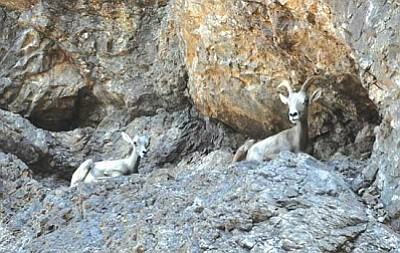 BUTCH MERIWETHER/Courtesy<br /><br /><!-- 1upcrlf2 -->A desert bighorn sheep ewe and its lamb rest on a rock outcrop along the Colorado River.