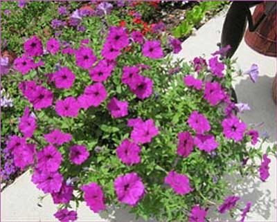 Wave petunias produce a lovely spectacle when potted or as part of your in-ground landscaping.