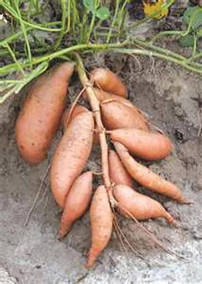 Courtesy<br /><br /><!-- 1upcrlf2 -->Sweet potato tubers.