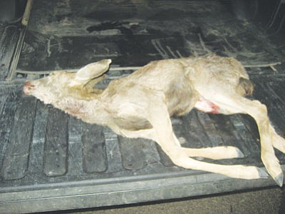 Courtesy<br /><br /><!-- 1upcrlf2 -->Mule deer fawn that was shot shot