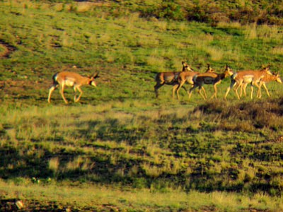 Courtesy<br /><br /><!-- 1upcrlf2 -->Sportsmen will be taking to the field during the Antelope Eaters XXIII hunt to try and remove coyotes, which are the No. 1 predator of antelope fawns in the spring in northern Arizona, according to the Arizona Game & Fish Department.