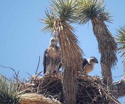 Courtesy<br /><br /><!-- 1upcrlf2 -->A couple of red-tail hawk juveniles in a nest built in a Joshua tree.
