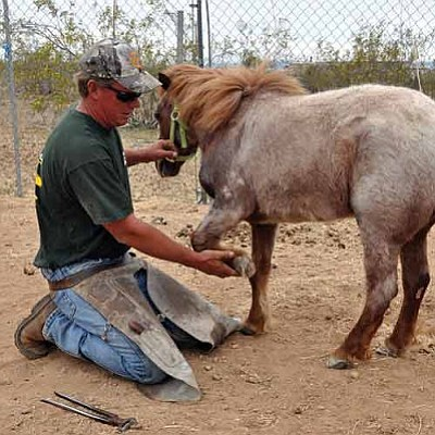 Butch Meriwether/Courtesy<br /><br /><!-- 1upcrlf2 -->Farrier Shawn Schmitt inspects the sorrel pony's hooves after completing his second trim of its hooves. The pony was the subject of a joint investigation by the Mohave County Sheriff's Office and Arizona Department of Agriculture last month into the possibility of neglect by the owner.