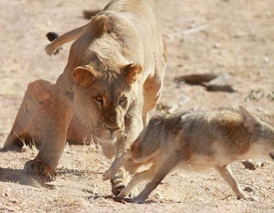 JC AMBERLYN/Miner<br> Anthony the Lion stalks Riley the Coyote in their enclosure at Keepers of the Wild near Kingman.