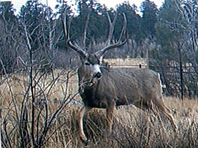 DON MARTIN/Special to the Miner<br /><br /><!-- 1upcrlf2 -->This is the kind of bucks that the Kaibab is producing. Though this buck would not score very well, he would still be a great trophy for many hunters.