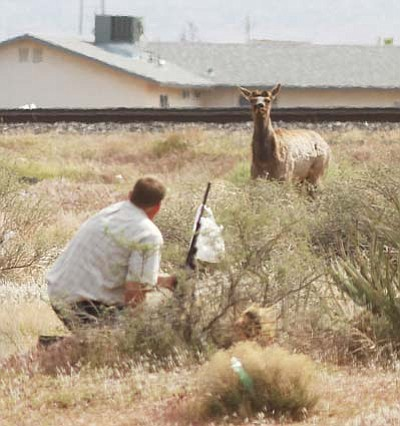JC AMBERLYN/Miner<br> Wildlife officer Jeff Pebworth watches an elk he has just shot with a tranquilizer dart. Two elk had wandered into town and stopped in a field next to Bashas' on Andy Devine Avenue. Both were tranquilized and taken to the Hualapai Mountains.