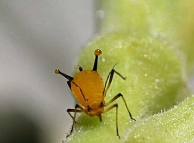 SANJAY ACHARYA/Courtesy<br /><br /><!-- 1upcrlf2 -->Aphids are common garden invaders around the world, but there are many options when it comes to eliminating them or at least getting their population down.